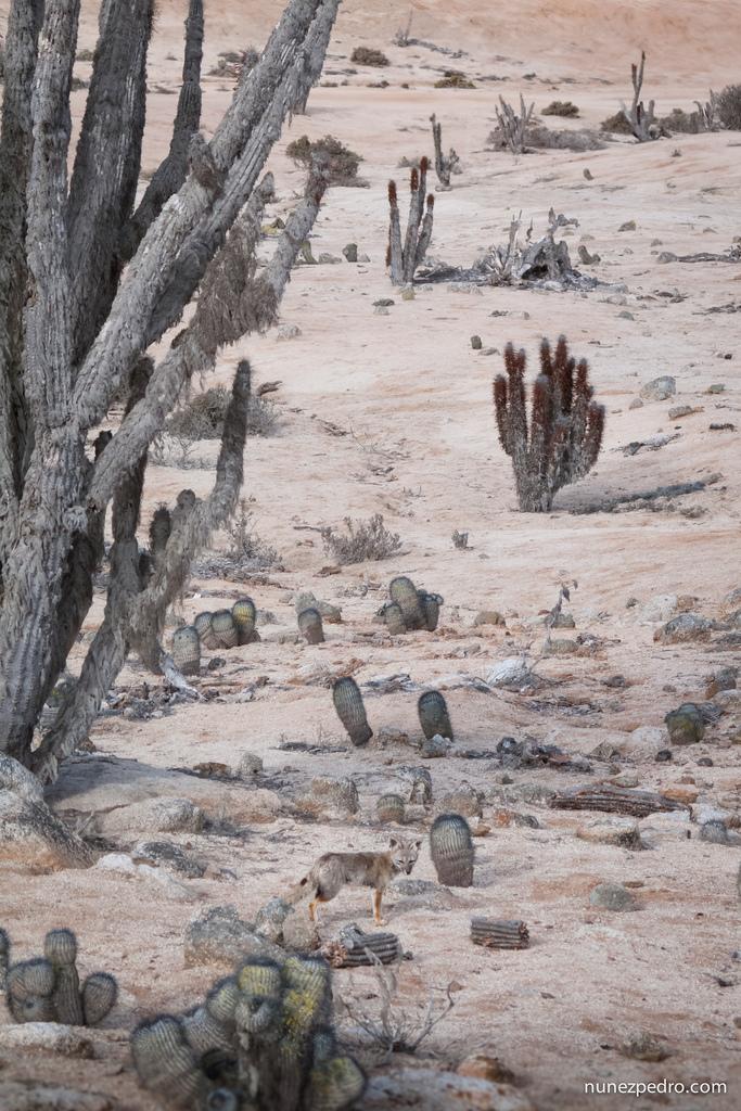 Fox in Atacama Desert