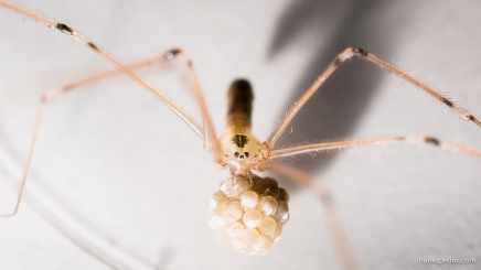 Spider with its eggs